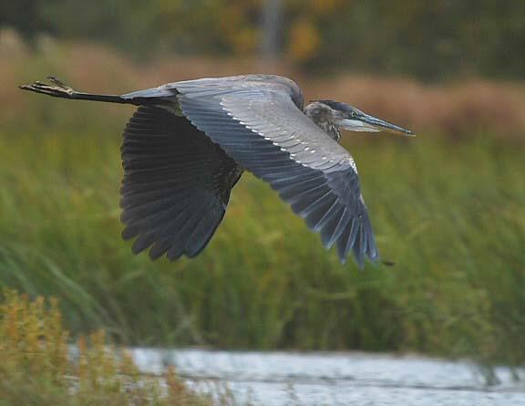 Grand heron3